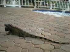 IGUANAS LIKE HOT TUBS: St. Thomas, US Virgin Islands