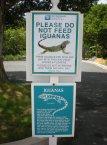 Those crazy iguanas... St. Thomas, US Virgin Islands
