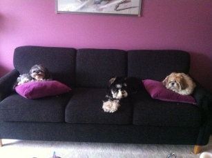 Two Shih-Tzus and a Schnauzer (c. Marie R. Carlson)